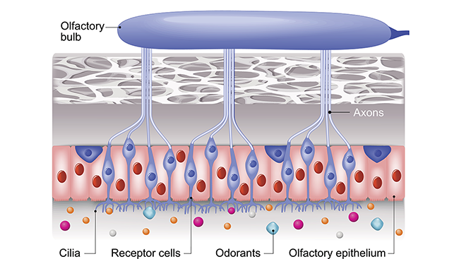 A diagram of the olfactory system, identifying key regions including cilia, receptor cells, and the olfactory bulb.