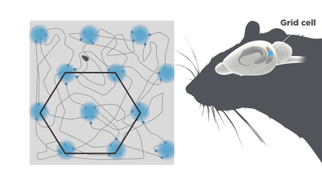 Diagram of grid cells, organized in hexagons, next to a diagram of a mouse brain highlighting where grid cells are found.