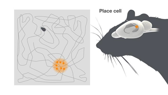 Diagram of place cells, firing in one location, next to a diagram of a mouse brain highlighting where place cells are found.