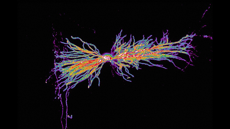 Image of an interneuron connecting with neurons, in purple and yellow and light blue