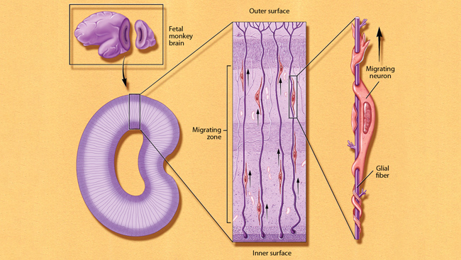 Migration: New Nerve Cells on the Move