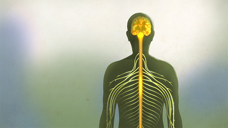 cartoon outline of a human body with nervous system