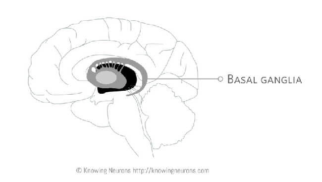 Image of the brain highlighting the location of the basal ganglia.