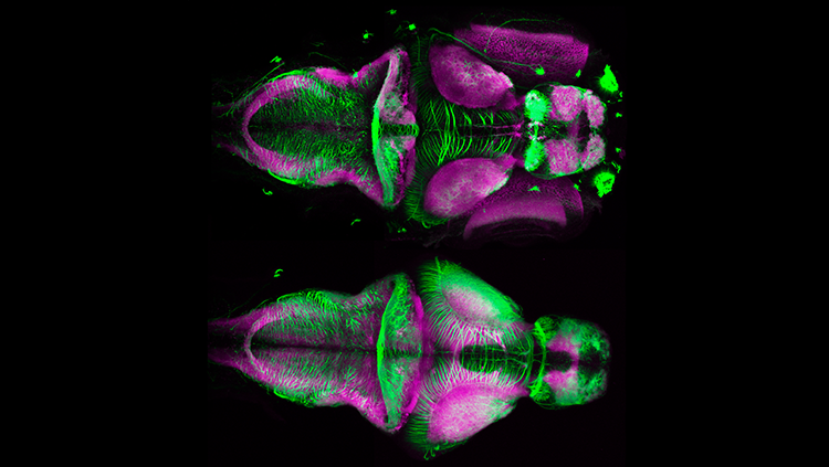Image of zebrafish in purple and green
