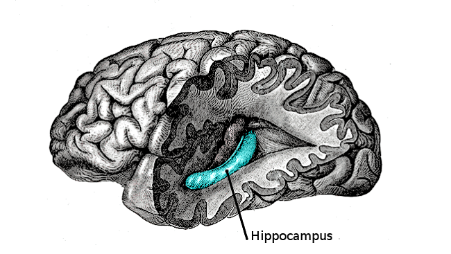 Illustration marking the location of the hippocampus in the brain.