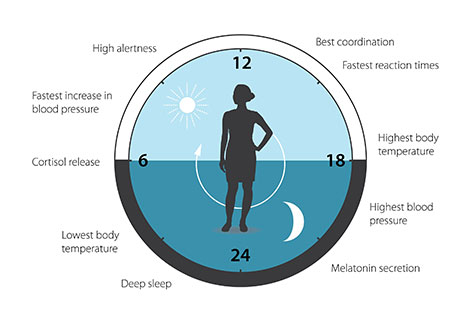 In image showing how our biological clock helps to regulate sleep patterns, feeding behavior, hormone release, blood pressure, and body temperature.