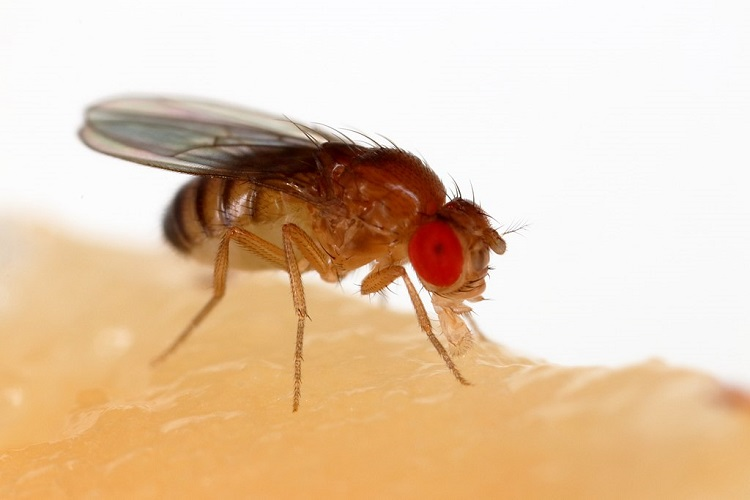 A close-up photo of  Drosophila melanogaster