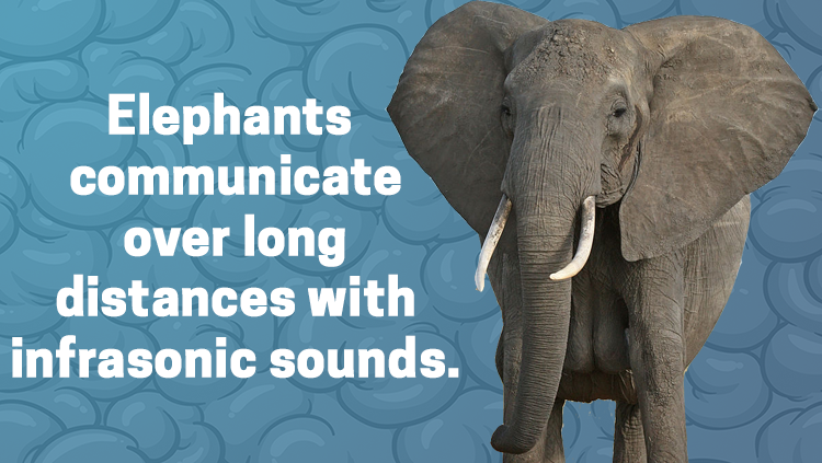 image of an elephant, elephants communicate over long distances with infrasonic sounds