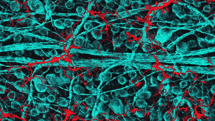 An image of a rat retina, with blue retinal ganglion cells and red immune cells.