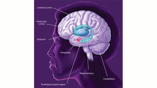 Diagram of brain areas