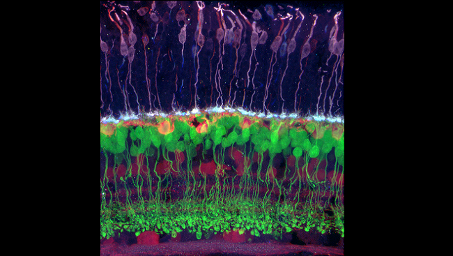 Retinal cells taken from a mouse