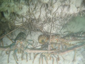 Four spiny lobsters