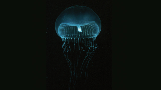 An Aequorea Victoria glowing under water