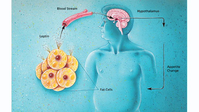 Diagram showing connection between the brain, fat cells and hormone production in a male body