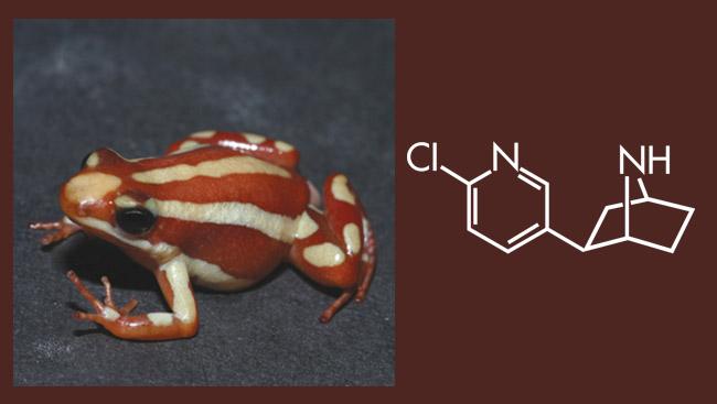 Diagram of Epibatidine and an Ecuadorain Frog