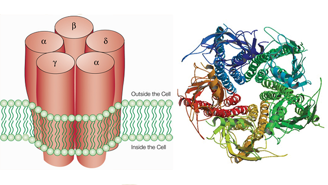 Nicotine acts at proteins called receptors, which each contain five subunits arranged in a barrel shape, as shown in the above drawing (left). At least 17 types of subunits have been identified. A person's likelihood of becoming addicted to nicotine depends in part on which subunits make up the receptors. The molecular structure of the receptor viewed through the barrel is shown on right.