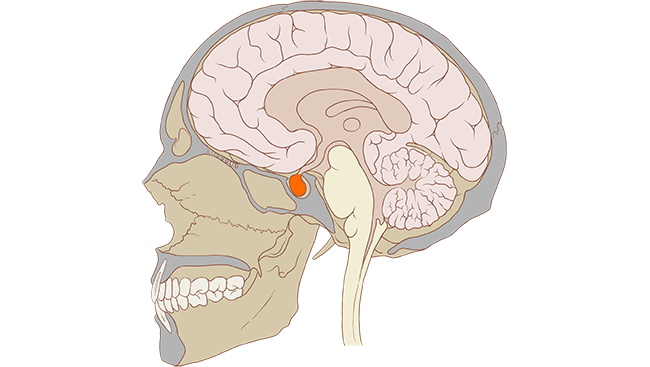Diagram showing where the pituitary gland is.