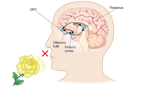 After receiving smell information from the nose's sensory receptors, the olfactory bulb relays the information to a circuit of brain regions for processing.