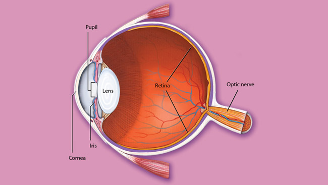 The cornea, lens and cell lining in the eye.