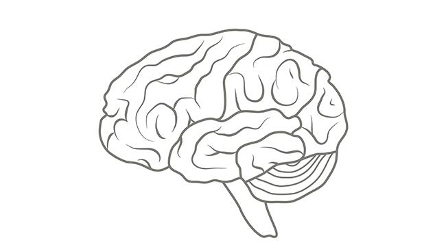 The human brain in profile.