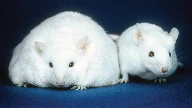Two mice; one obese, one normal