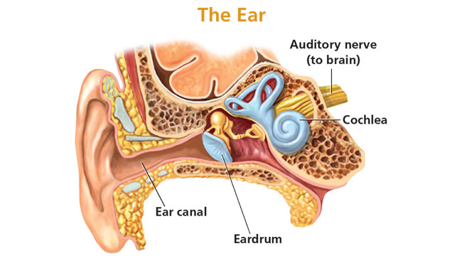 The snail-shaped cochlea