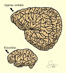 Whale & Einstein brains