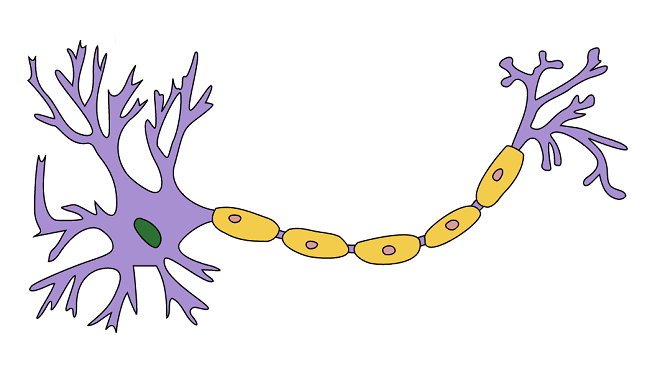 In this illustration of a neuron, myelin is shown in yellow. In the nerves outside of the brain and spinal cord, myelin is produced by support cells called Schwann cells. The nuclei of the Schwann cells are shown here in pink.
