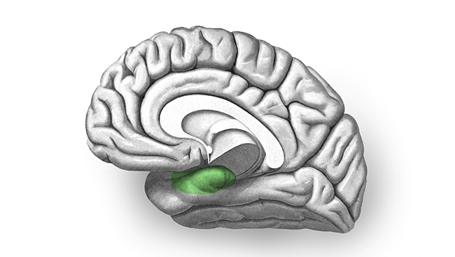 Black and white brain in portrait with the entorhinal cortex highlighted in green.