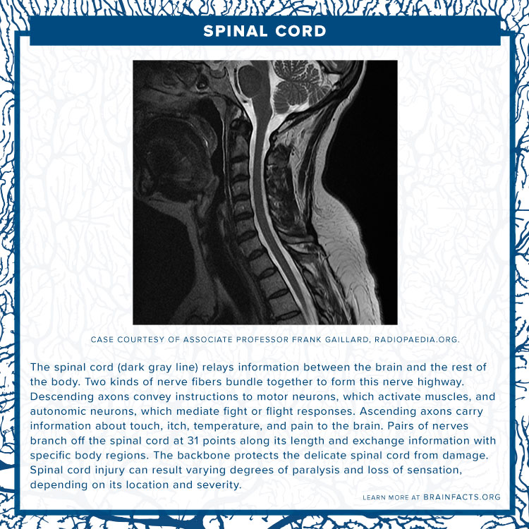 Spinal cord brain byte
