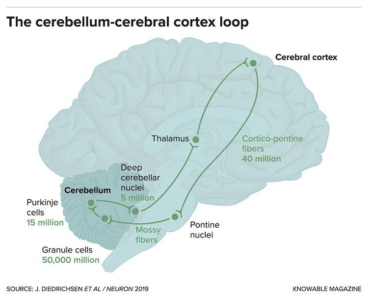 Cerebellum cerebral cortex loop