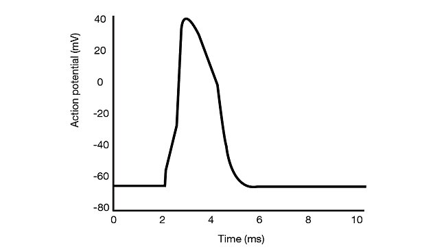 Graph of action potential versus time