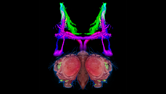 These antennae cells are labelled in green on the two mirror-image fly heads in silhouette at the bottom of the image.