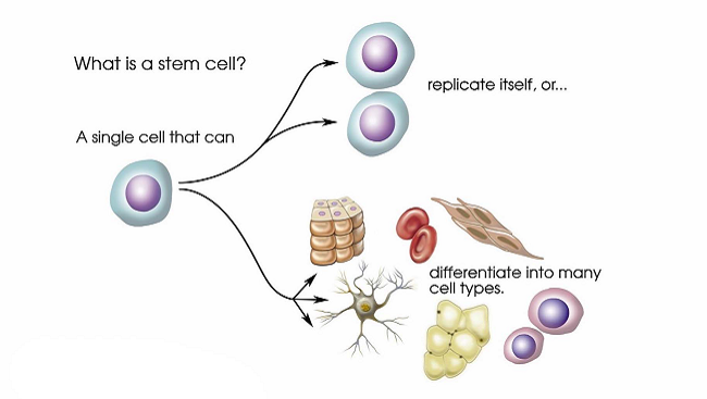 A stem cell has two essential characteristics: the ability to replicate itself through cell division and pluripotency, the ability to differentiate into any type of cell. For years scientists believed that once a stem cell differentiated into a specific type of cell, it was no longer pluripotent. However, in 2006 Shinya Yamanaka of Kyoto University discovered a way to reprogram skin cells into pluripotent cells that he called induced pluripotent stem cells or iPSCs.