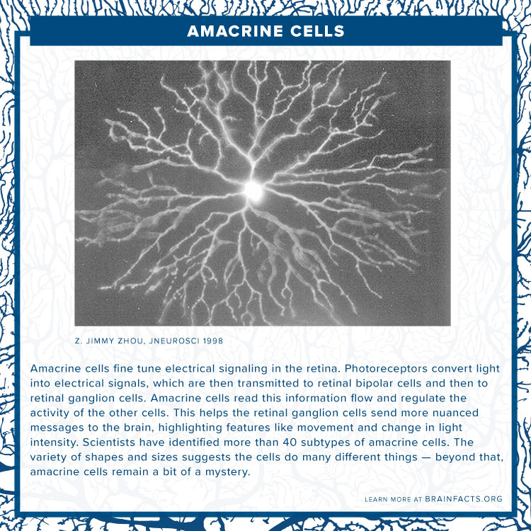Amacrine cells brain byte
