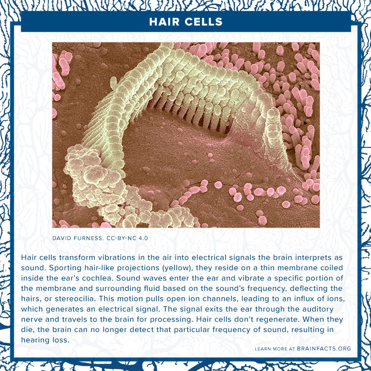 Hair cell brain byte