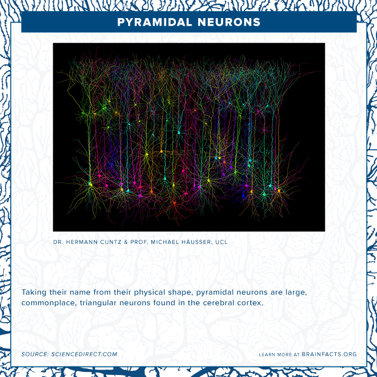 brain byte of pyramidal neurons