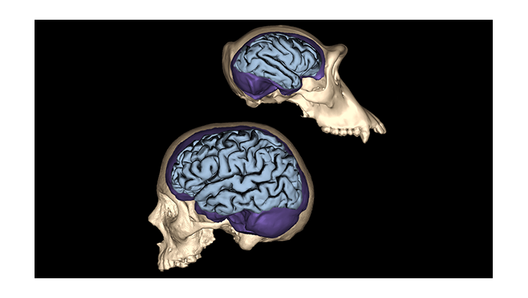 Human skull and brain size compared to a chimpanzee's skull and brain size.