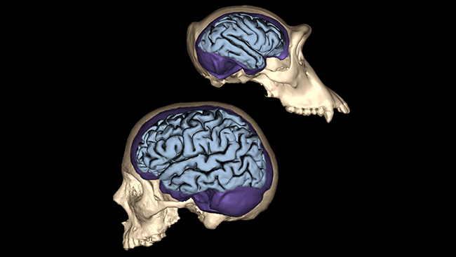Brain Evolution Searching For What Makes Us Human