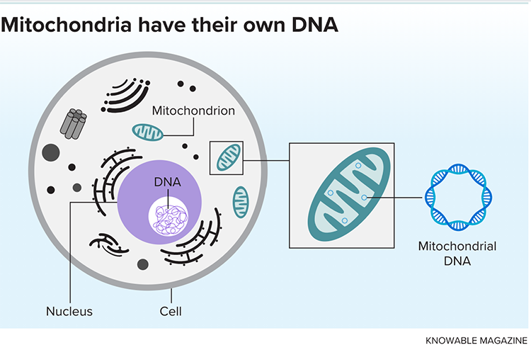 Mitochondria have their own DNA