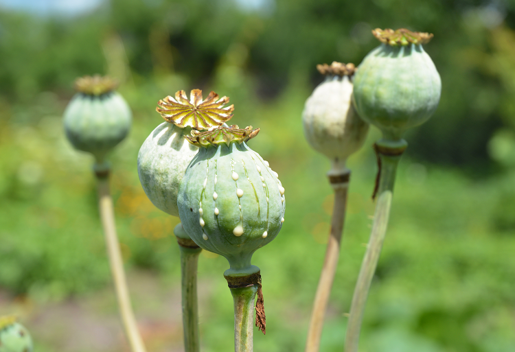 Image of opium poppies