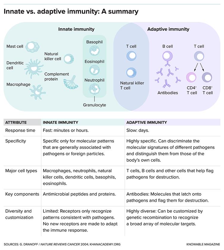 innatve vs. adaptive immunity chart