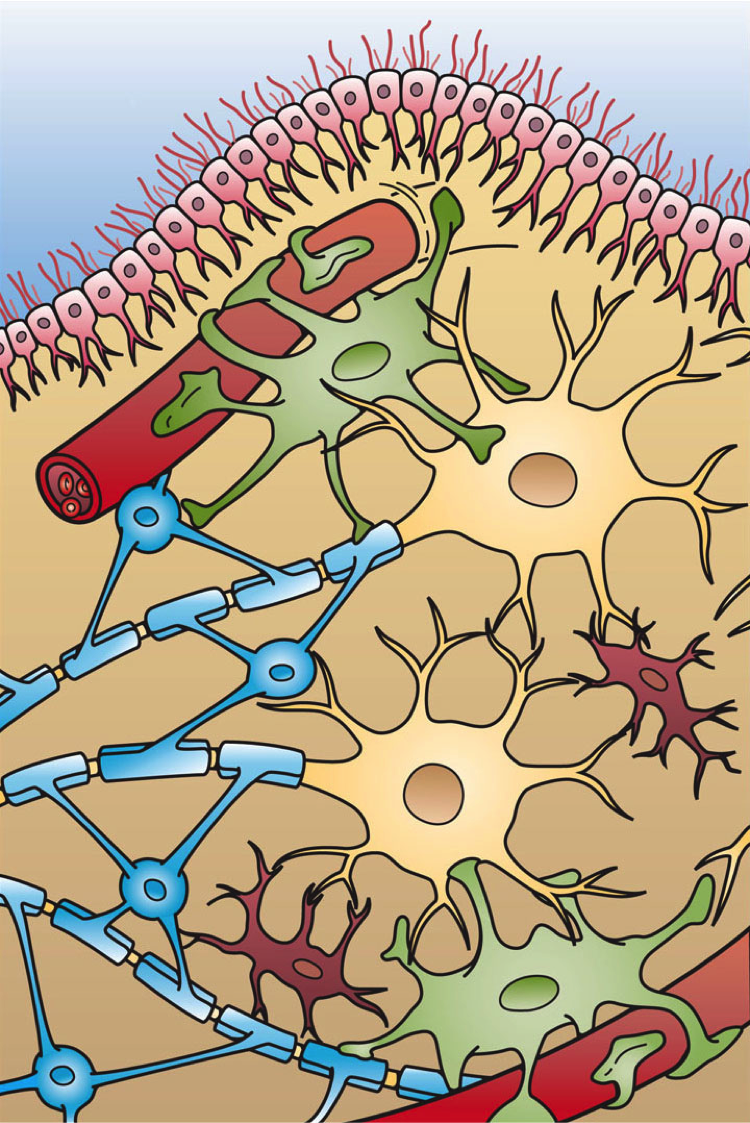 four types of glial cells in central nervous system
