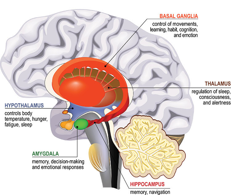 Diagram showing a cross section of the brain with structures of the limbic system highlighted.