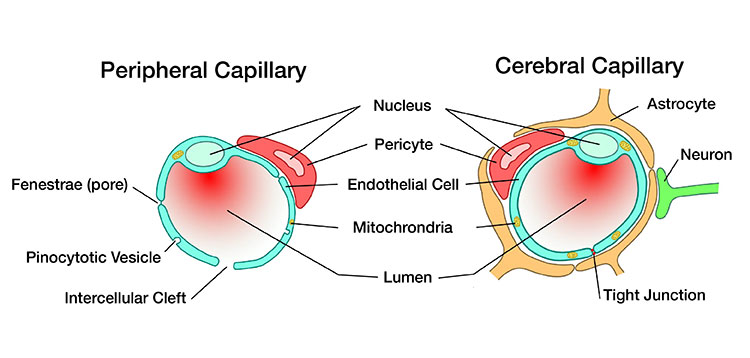 Illustration comparing the structures of peripheral and cerebral capillaries