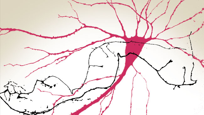 A hippocampal pyramidal neuron (red) innervated by GABAergic axons (black) depicted in traditional Chinese watercolor.