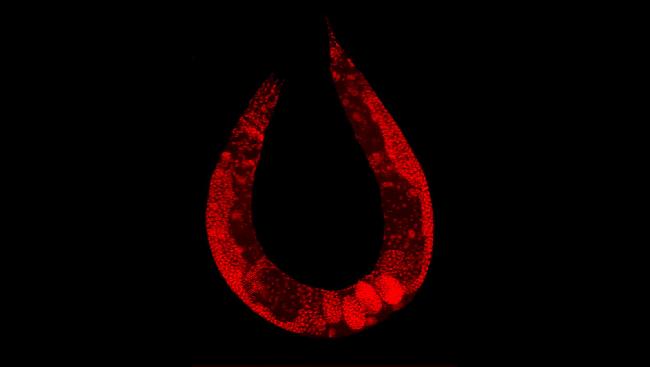 A roundworm, also known as Caenorhabditis elegans