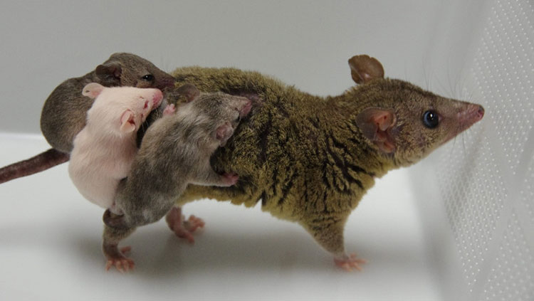Female opossum with three pups on her back. One pup has normal coloring, one is fully albino, and one is partially albino.