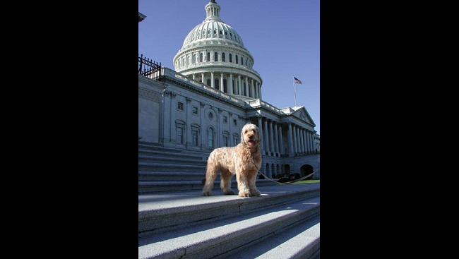 A Briard dog at the U.S. Capitol building