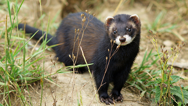 Ferrets are currently being used to study healthy brain development.